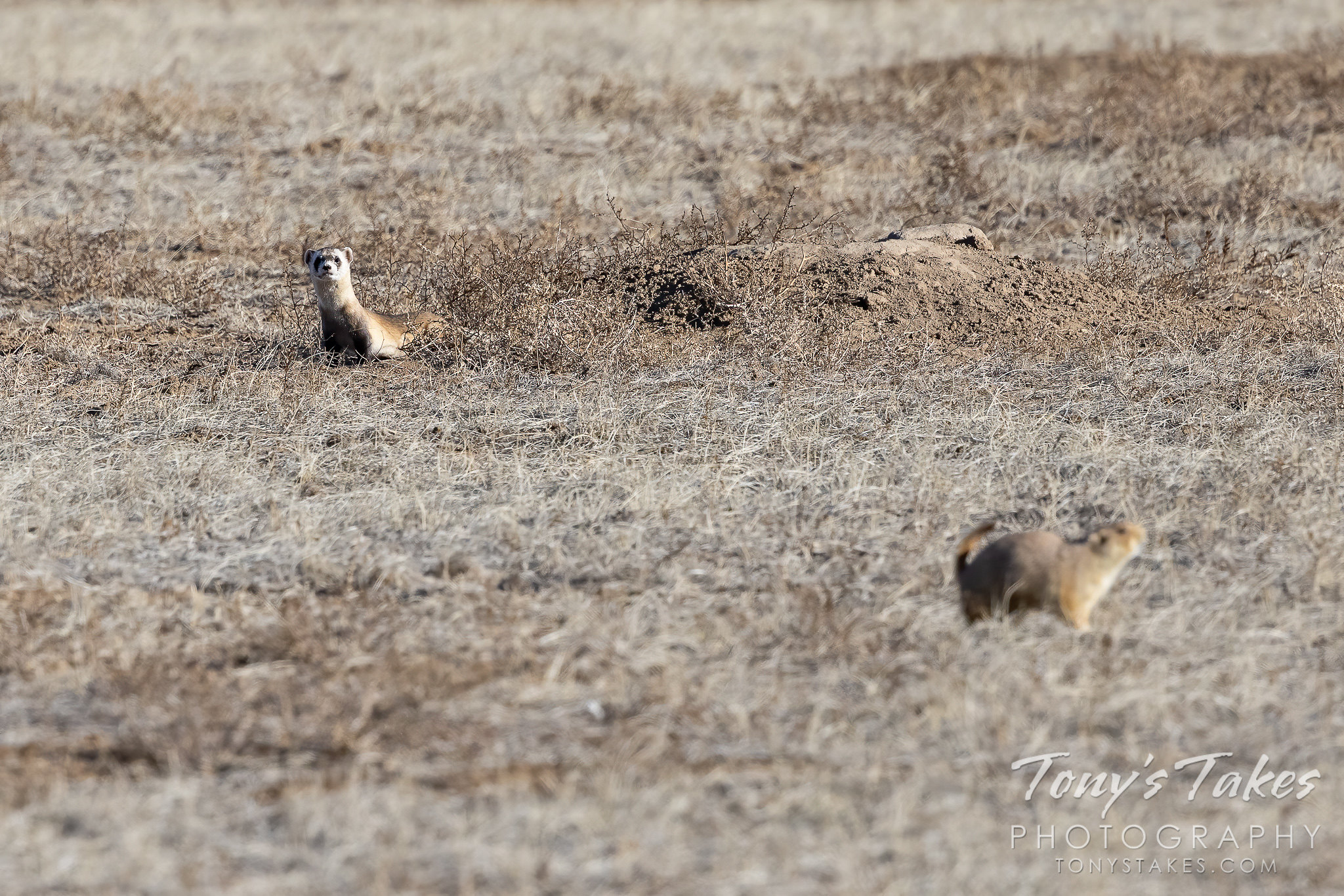 Black-footed ferret sizes up its next meal