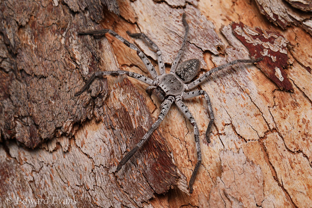 Huntsman (Sparassidae)
