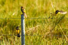 Three little birds (Pseudoleistes virescens)