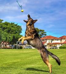 Great shot Follow @dog.training.easy3 on Instagram for more :@manaiathegsd