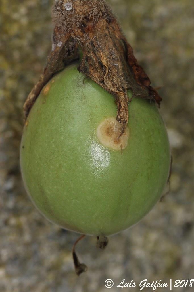 Passiflora edulis Sims