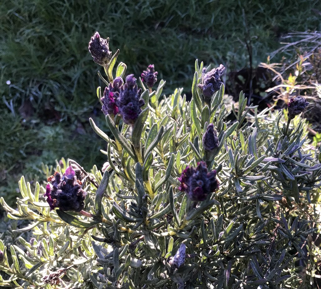 Lavender blossoms this morning