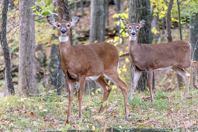White-Tailed Deer #5 - 2018-10-21