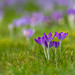 Crocus tommasinianus ('tommies') in the lawn