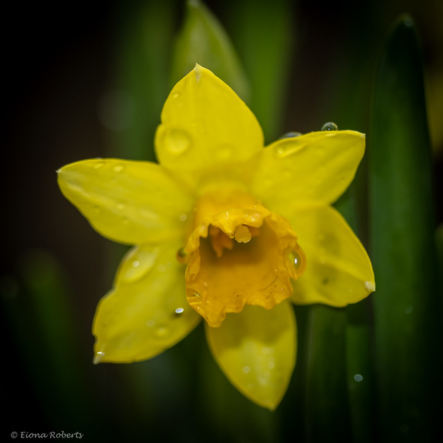 55 /365 Dwarf Narcissus