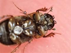 Aphodius prodromus/sphacelatus