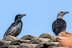 Red-winged Starling - Onychognathus morio morio, Tsavo West NP201114