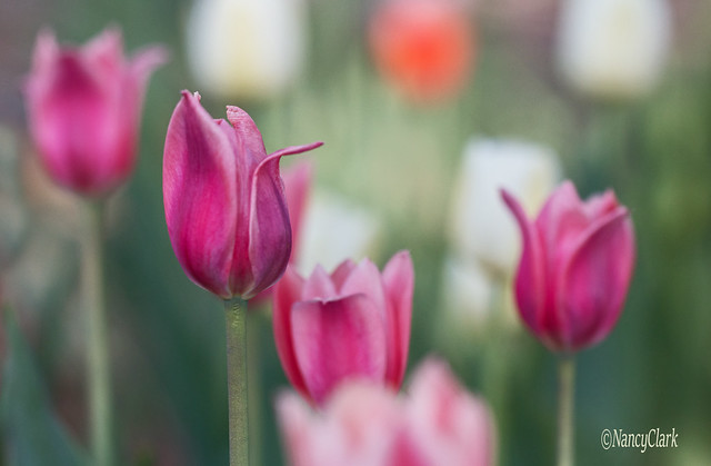 Thinking about tulips