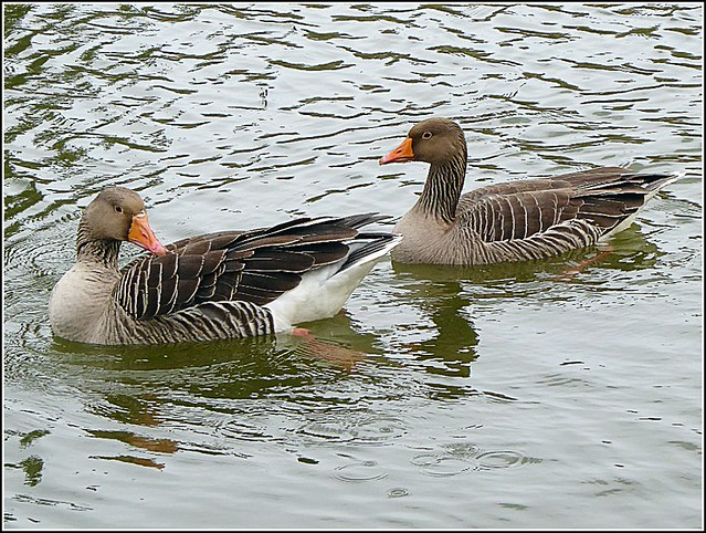 Two Greylag Geese