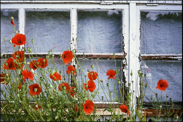 Red Poppy - Fuji Sensia 100 exp*