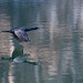 cormorant_in_flight-20210224-100