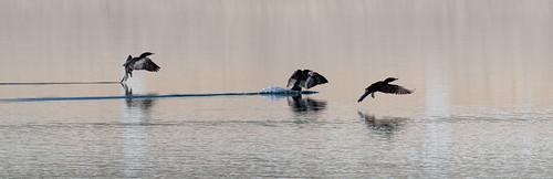 cormorant_landing-20210224-100