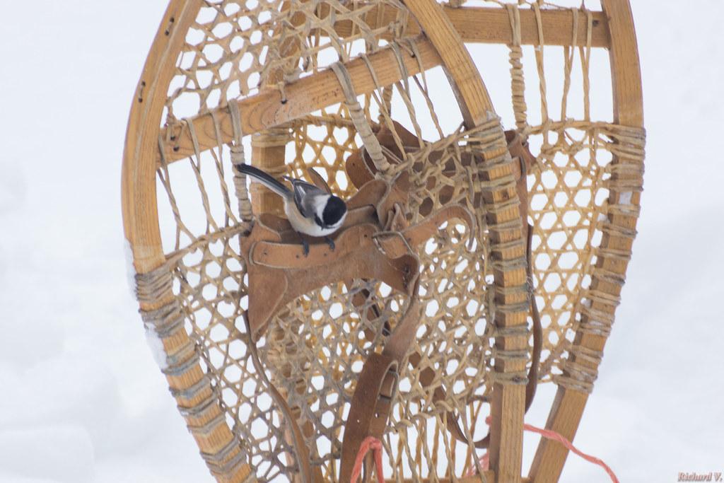 Mésange à tête noire - Black-capped Chickadee, Beauce, PQ, Canada - 2951