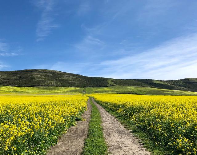 Wild Mustard Fields