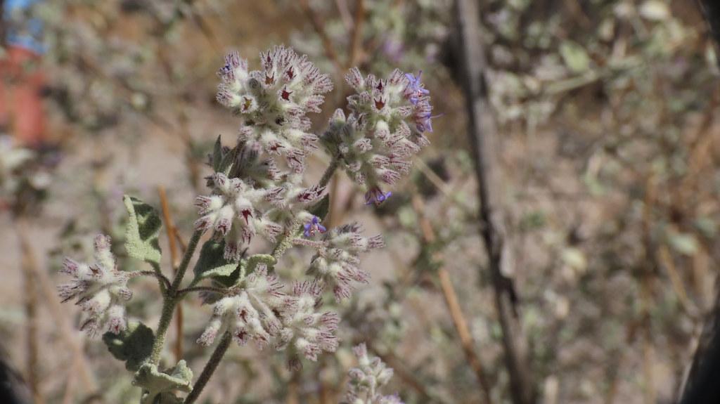 Desert Lavender (Condea emoryi, Lamiaceae)