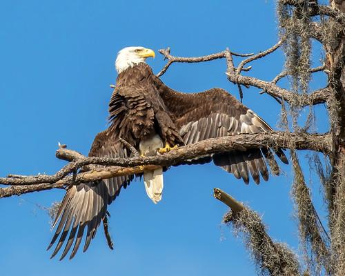 bif flight eagle raptor outdoor dennis adair tierra verde sky blue nature wildlife 7dm2 7d ii ef100400mm canon florida bird beak