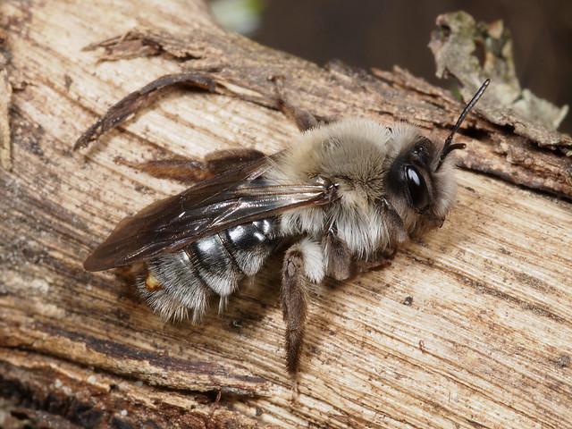 Andrena vaga f