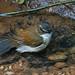 Brown-chested Alethe - Alethe poliocephala, Kakamega Forest201224-2