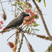 Grey Parrot - Psittacus erithacus, Kakamega Forest201226