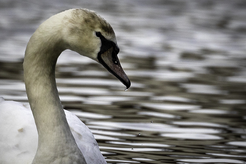 20210224_Swan on the Canal