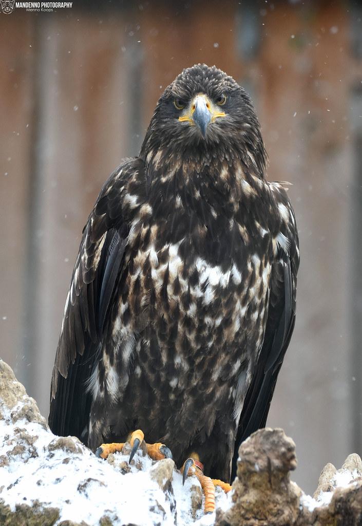 Sea Eagle - Zoo Veldhoven