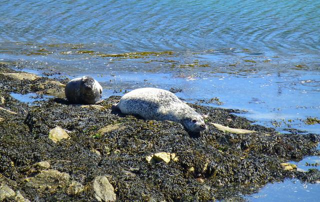 Seals, Portnahaven, Islay, Scotland