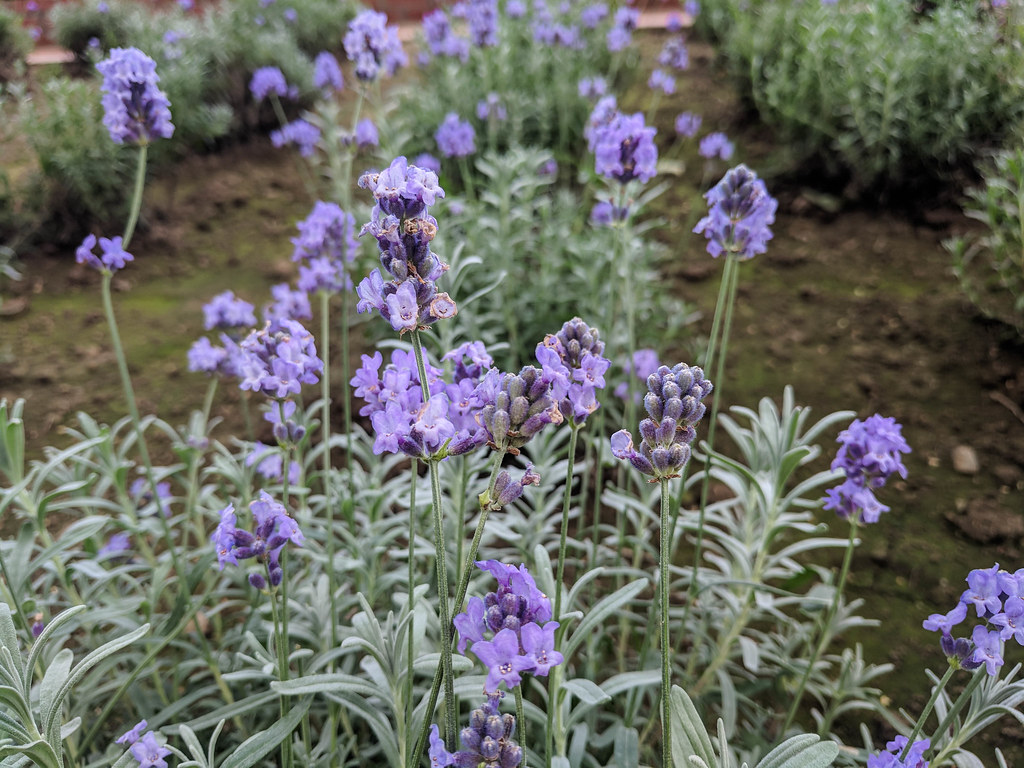 noshi hayazaki lavender