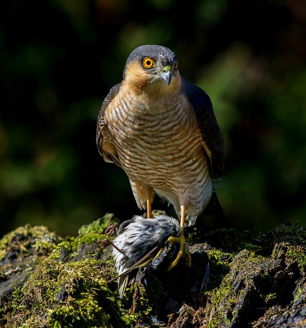 JWL3083  Sparrowhawk...