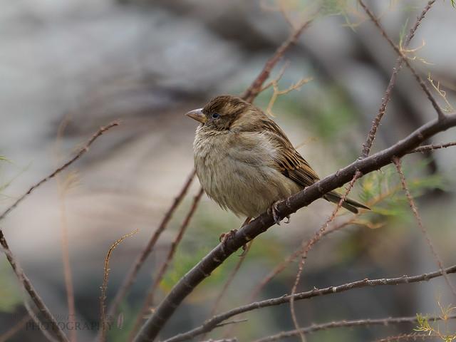 Female House Sparrow - Port of Shoreham
