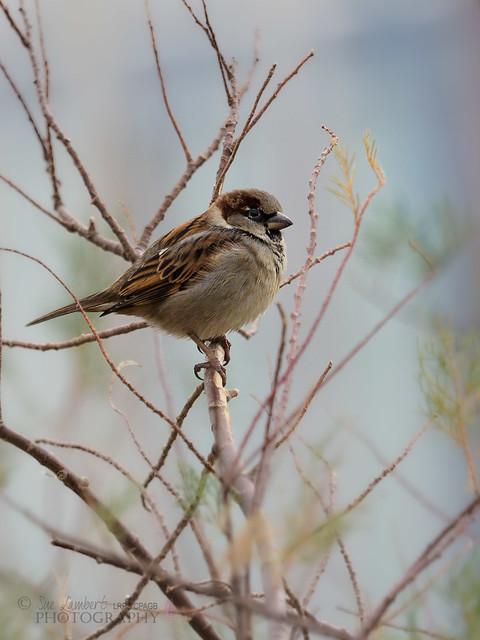 Male House Sparrow - Port of Shoreham