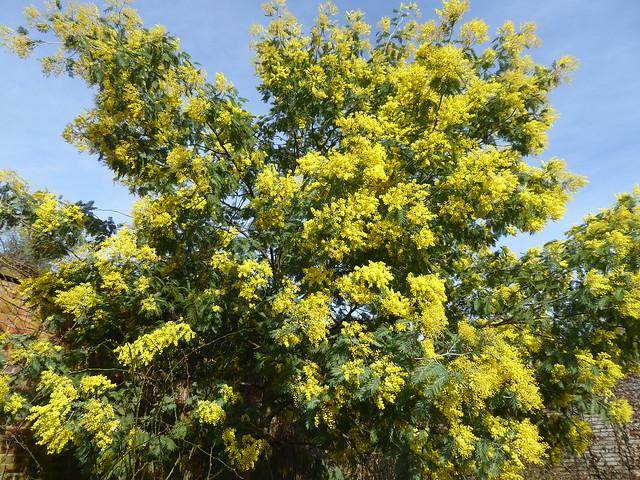 Acacia Mimosa, Osterley, London