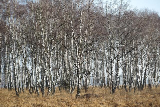 birch trees in the winter sun