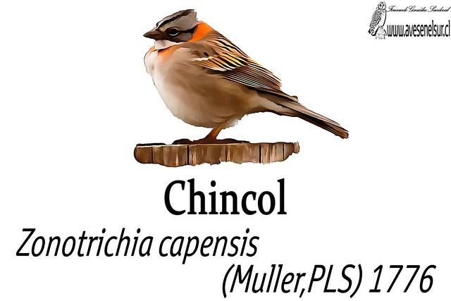 chincol-reload