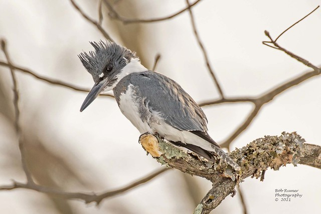 Belted Kingfisher Male.