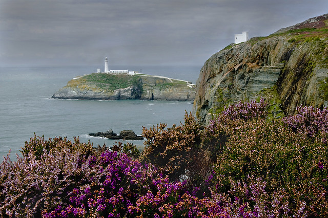 South Stack Lighthouse and heather