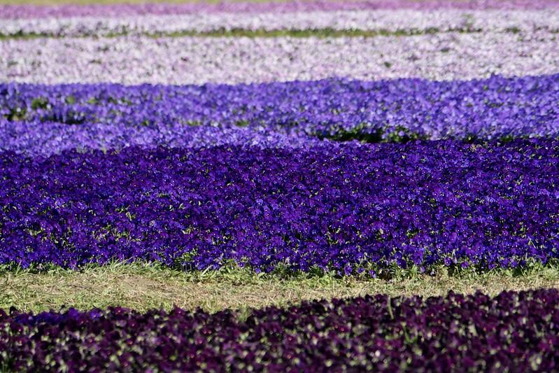 紫爆花海 古亭河濱公園