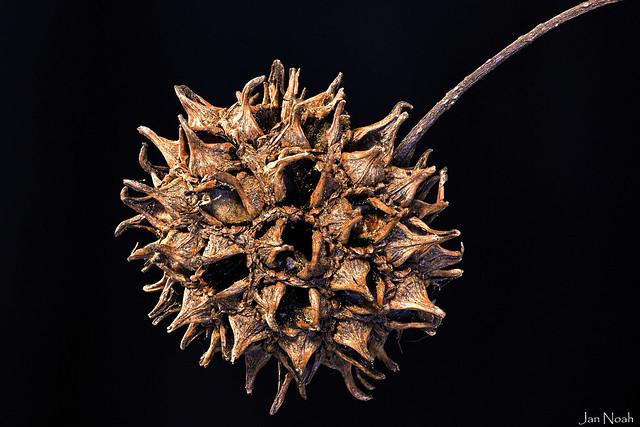 Sweetgum Tree Ball