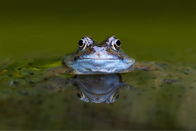 The Common Frog (Rana temporaria) is the only species of frog found in Ireland and is listed as an internationally important species. Frogs are protected under the European Union Habitats Directive and by the Irish Wildlife Act.