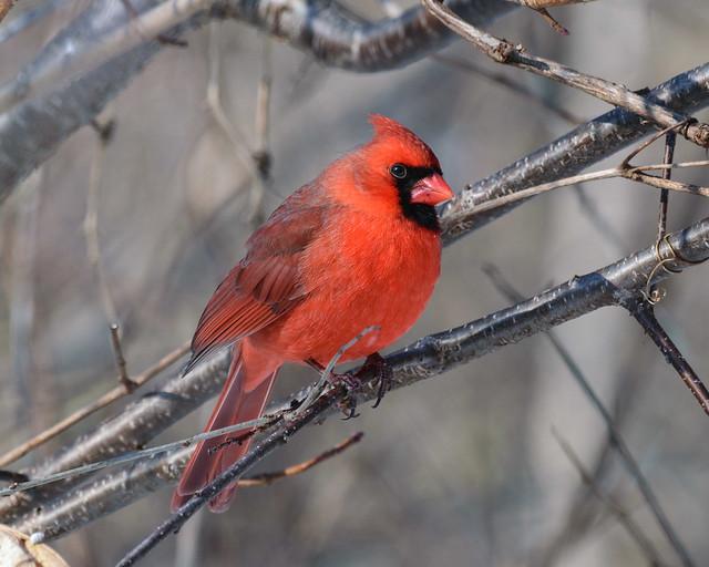Northern Cardinal (m) - 0085