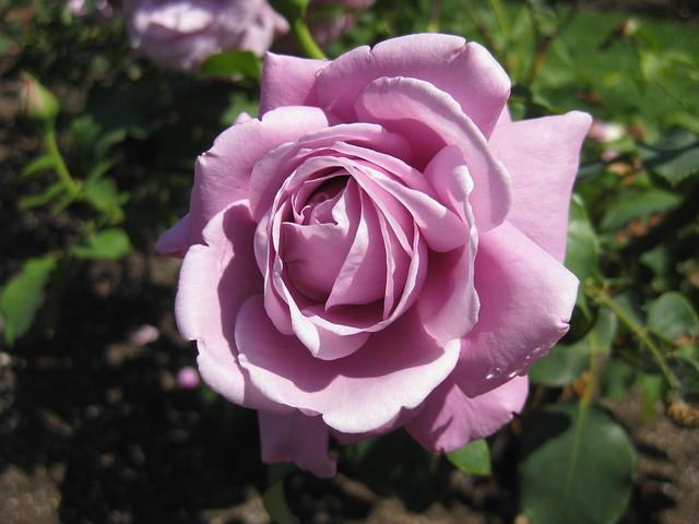 Charles de Gaulle Rose Bloom - St Kilda Botanical Gardens, St Kilda