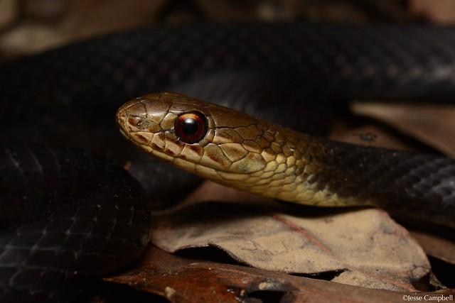 Marsh Snake (Hemiaspis signata). Central Coast, NSW
