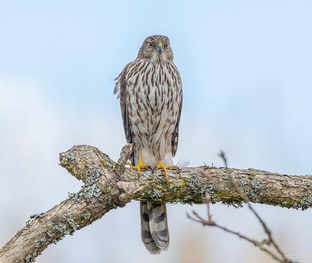 Backyard tales...Cooper's hawk in Winter #1.