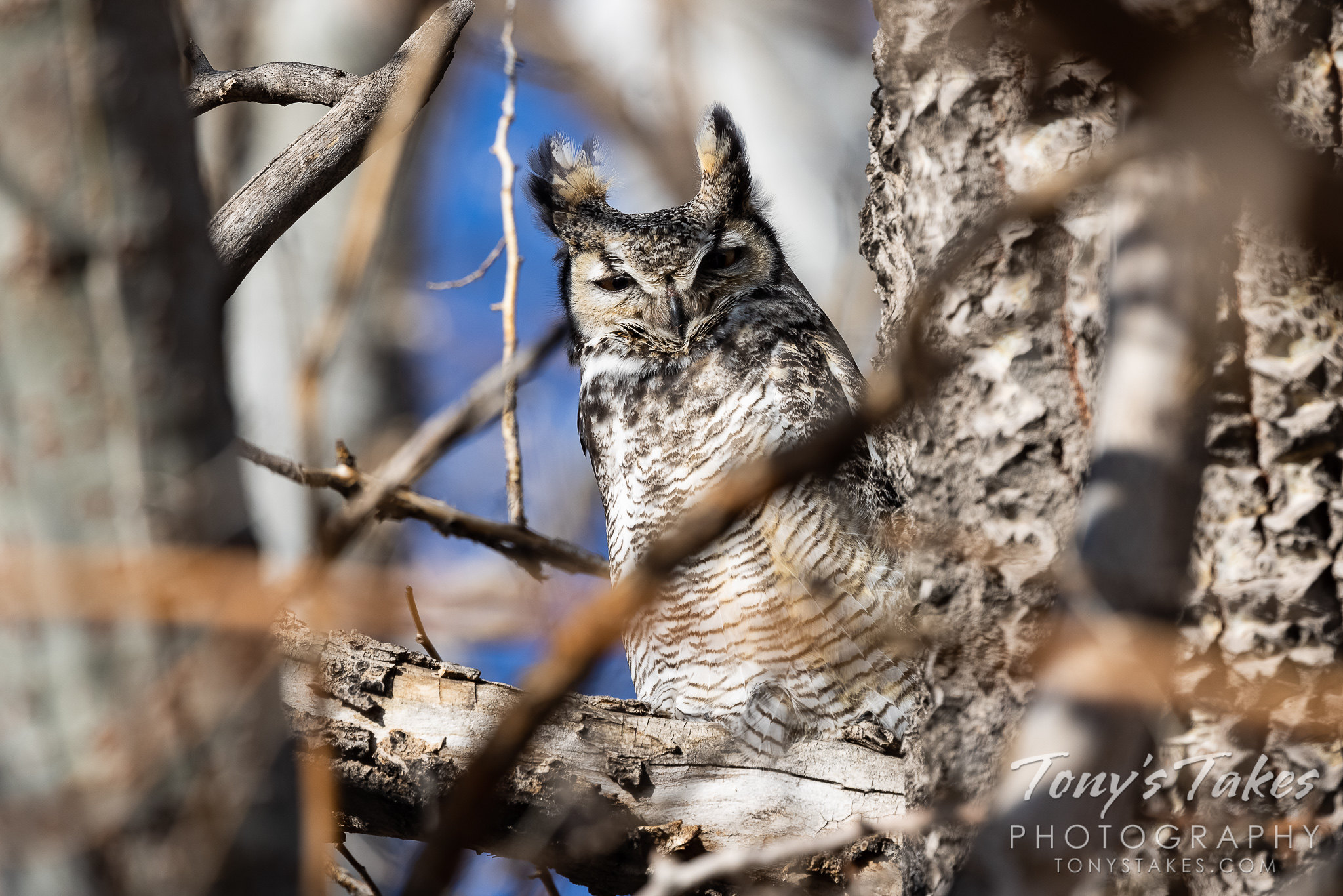 A male great horned owl keeps watch. (Tony's Takes)