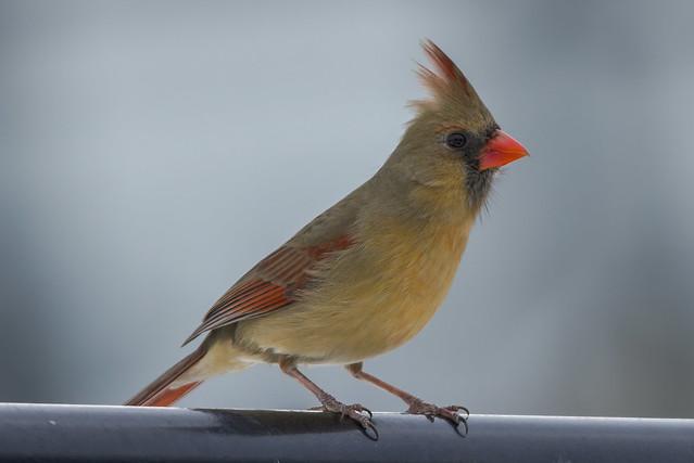 Northern Cardinal (F) | Sitting Pretty