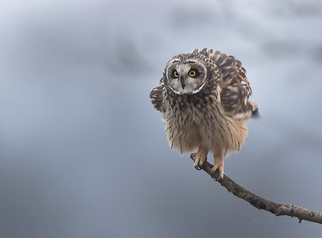 Short Eared Owl Worlaby Carr Lincolnshire