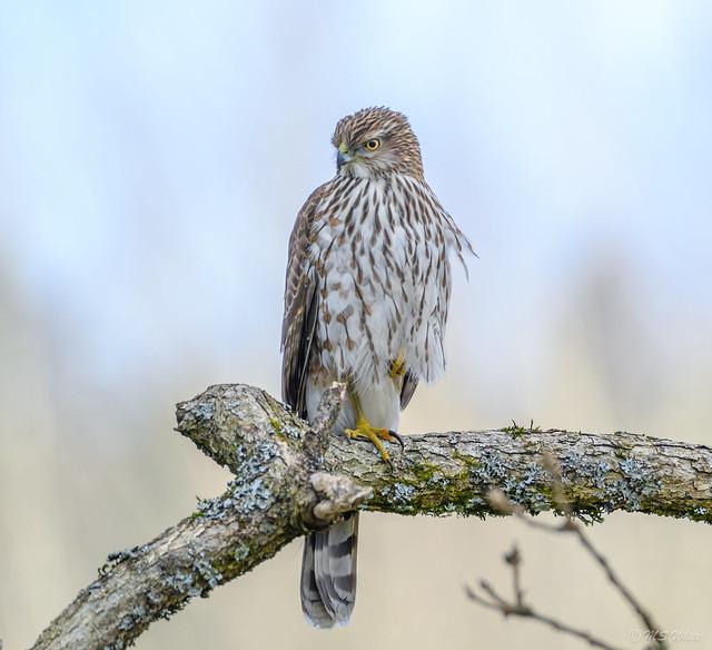 Backyard tales...Cooper's hawk in Winter.#2