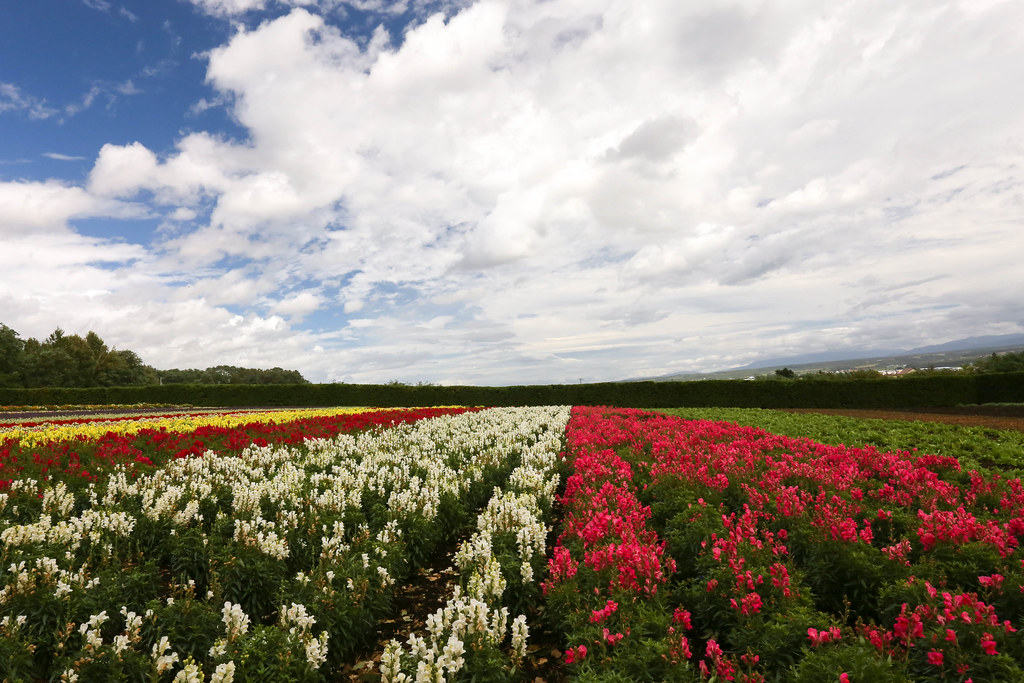 snapdragons fields at farm Tomita