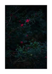 #SONY #ILCE7M2 #a7ii #Sonyimages #50mm #lomography #lomoartlens #newJupiter3 #u5358u7126u70b9 #iso800 #NDfilter #u81eau7136 #Nature #Naturephotography #botanical #botanicalphotography #botanicalart #u7389u30dcu30b1 #bokeh #Depthoffield #dof #Art #artphotography #Asia #Tokyo #Japan