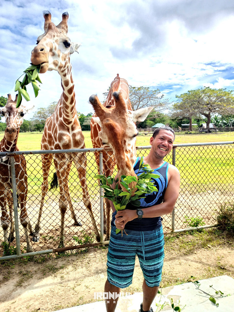 Author feeding the giraffes