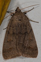 Common Oak Moth